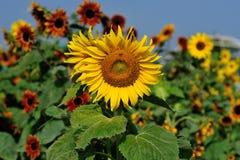 A beautiful sunflower field. Sunflowers field in the farm Stock Image