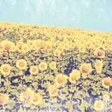 A beautiful sunflower field Royalty Free Stock Photo
