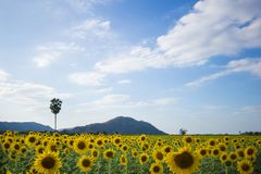 Beautiful sunflower field stock photography