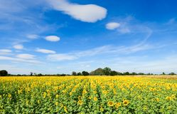 Beautiful sunflower fields with moutain Royalty Free Stock Photography