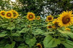 Beautiful sunflower fields near Stara Zagora Bulgaria.  royalty free stock photography
