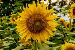 Beautiful sunflower fields near Stara Zagora Bulgaria.  stock images