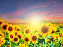 Beautiful sunflower filed. At sunset time stock photography