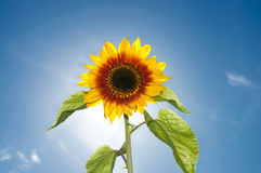 Beautiful Sunflower Flower against Bright Sunshine. And Blue Sky with Clouds Royalty Free Stock Photography