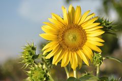 Beautiful sunflower flower on farm field landscape.  royalty free stock photos