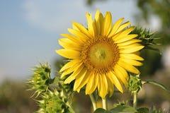 Beautiful sunflower flower on farm field landscape.  royalty free stock photography