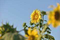 Beautiful sunflower flower on farm field landscape.  stock photo