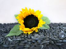 Sunflower and sunflower seeds on a light background Royalty Free Stock Photos