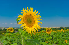 Beautiful sunflower at flowering time Royalty Free Stock Photos