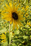 Beautiful sunflower flowers of the annual Helianthus annuus on Stock Images