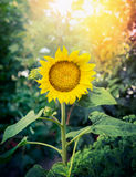Beautiful sunflower on garden nature background Stock Photos