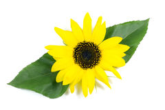 Beautiful Sunflower with Green Leaves Isolated on White Royalty Free Stock Photos