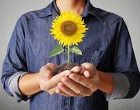 Beautiful sunflower in hand Stock Image
