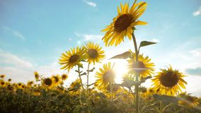 Beautiful sunflower Helianthus field of lifestyle yellow flowers on a background of blue sky landscape. slow motion