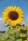 Beautiful sunflower with honey bee Stock Photo