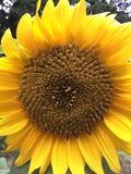 Beautiful sunflower in bloom. A beautiful sunflower I grew from a seed, isn't it lovely royalty free stock photography