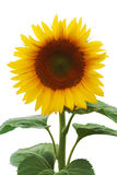 Beautiful sunflower (isolated) Stock Image