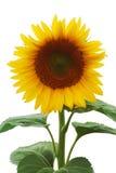 Beautiful sunflower (isolated) Stock Image