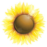 Beautiful sunflower isolated on white Royalty Free Stock Photo