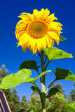 Beautiful sunflower with leaf on blue sky Stock Image