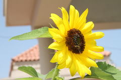 Beautiful sunflower with leaves. Pakistan stock photography