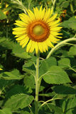 Beautiful sunflower. The little sunflower blossom in the field Royalty Free Stock Photos