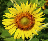 Beautiful sunflower. Looking closer at the beautiful sunflower Royalty Free Stock Photos