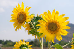 Beautiful sunflower in nature garden. Beautiful sunflower in the garden Royalty Free Stock Photo