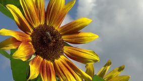 Beautiful sunflower stock video footage
