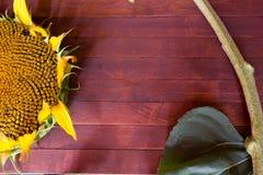 Beautiful sunflower Stock Images