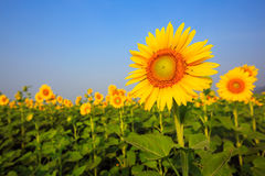Beautiful sunflower over blue sky and bright sun lights Royalty Free Stock Image