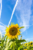 Beautiful sunflower Stock Photography
