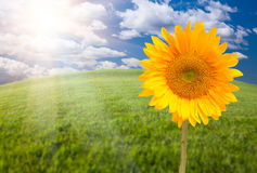 Beautiful Sunflower Over Grass Field Royalty Free Stock Images