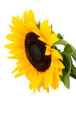 Beautiful sunflower over white Royalty Free Stock Photos