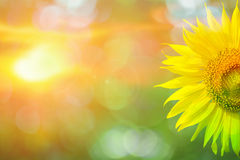 Beautiful sunflower in park in the morning Royalty Free Stock Photo