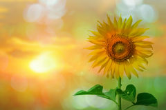 Beautiful sunflower in park in the morning Royalty Free Stock Photos