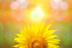 Beautiful sunflower in park in the morning Royalty Free Stock Photography