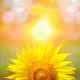Beautiful sunflower in park in the morning Stock Photo