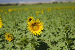 Beautiful Sunflower Patch in Denver. Sunflower patch on a farm in Denver Colorado Stock Photography