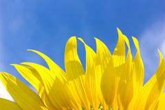 Beautiful sunflower petals and bright blue sky. Royalty Free Stock Image