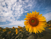 Beautiful sunflower plant in the field. Stock Photos