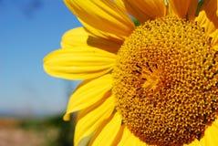 Beautiful sunflower plants Stock Image