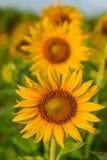 Beautiful sunflower. Portrait beautiful yellow sunflower field in Thailand Stock Image