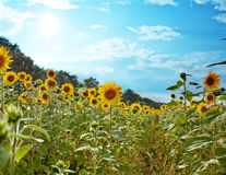 Beautiful sunflower in rain drops Royalty Free Stock Photos