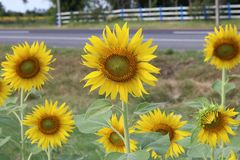 Beautiful sunflower beside the road stock photos
