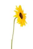 Beautiful sunflower royalty free stock photos