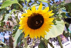 Beautiful sunflower in the sun with bees on it royalty free stock photography