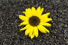 Beautiful Sunflower on Sunflower Seeds Background Stock Photo