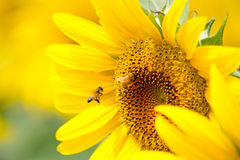 The Beautiful Sunflower Stock Images