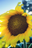 Beautiful sunflower on a sunny day Royalty Free Stock Photo